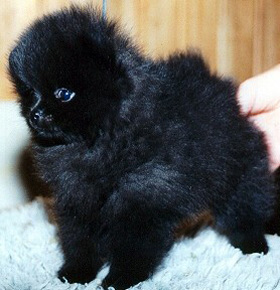 Little PomPom's Black Widow